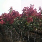 칠자화상품나무 R5점