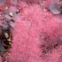 자엽안개나무