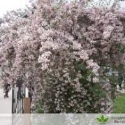 위실나무포트